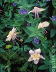 Columbines and bluebells