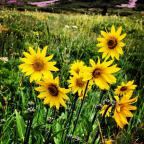Beautiful wild flowers in Crested Butte, Colorado! Such a great summer!